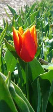In En Uit De Kap Pamfletten Naar Aanleiding Van De Tulpenwindhandel